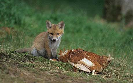 fox-attacking-chic_1655097a